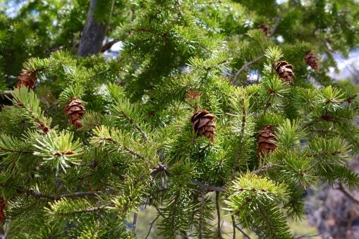 Victoria Lise Photo Post Vibrant Spring Pine Tree