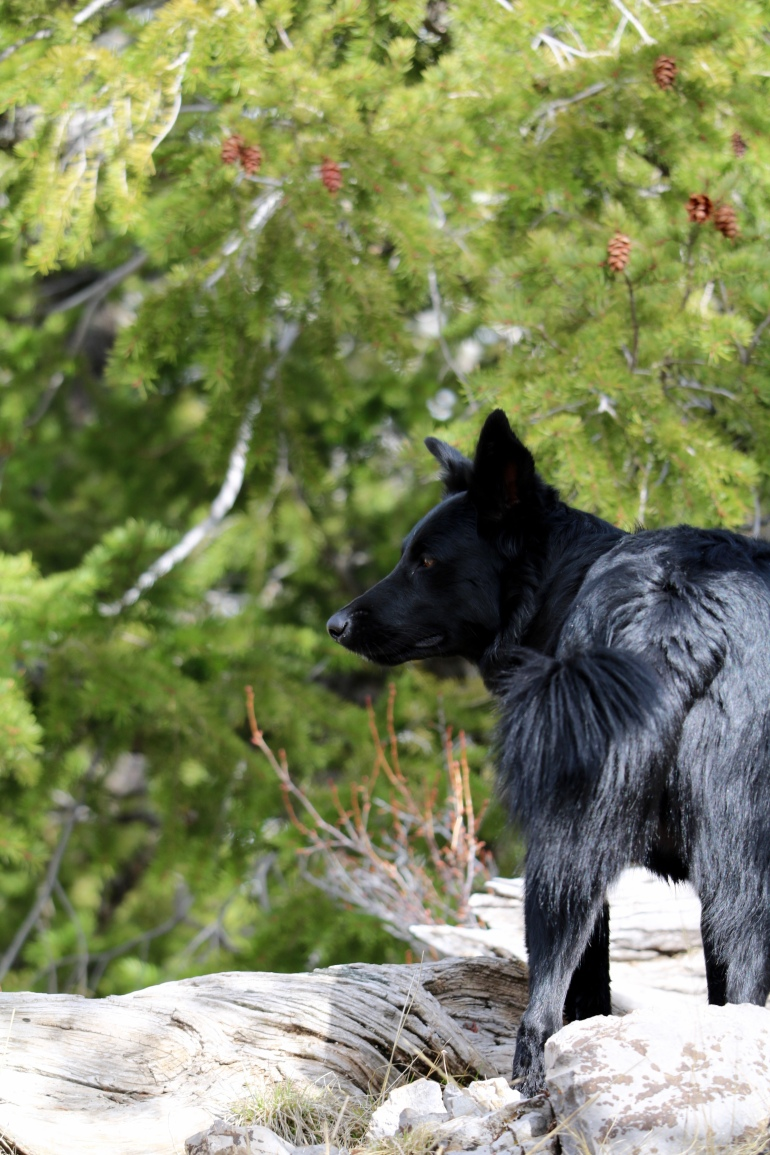 Victoria Lise Photo Post Black Dog Contrasts Against Green Pine