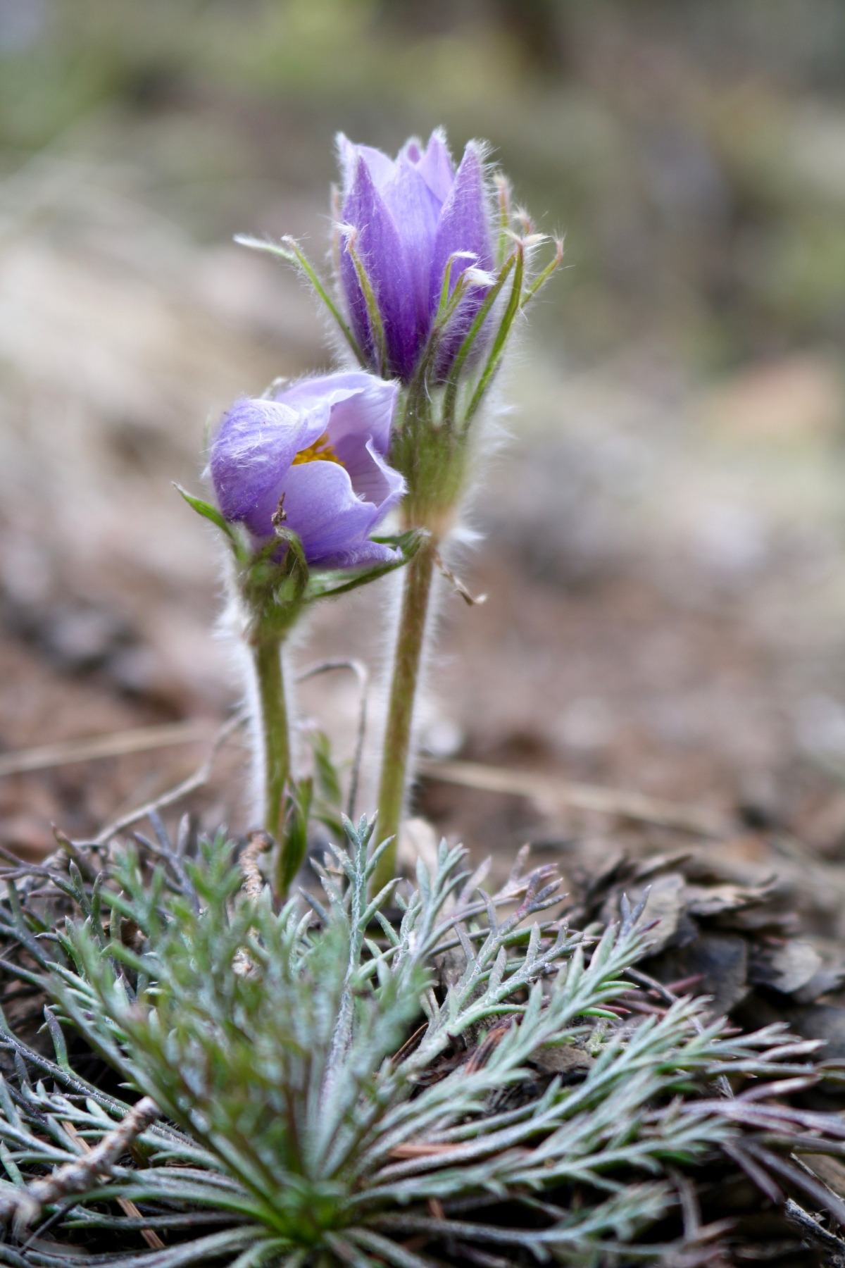 Victoria Lise Photo Post Blooming Pasque Flowers