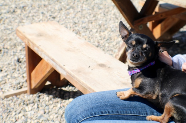 Victoria Lise capture Spooky the chiweenie dreaming of a forever home