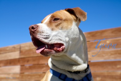 Tyson a terrier mix at shelter