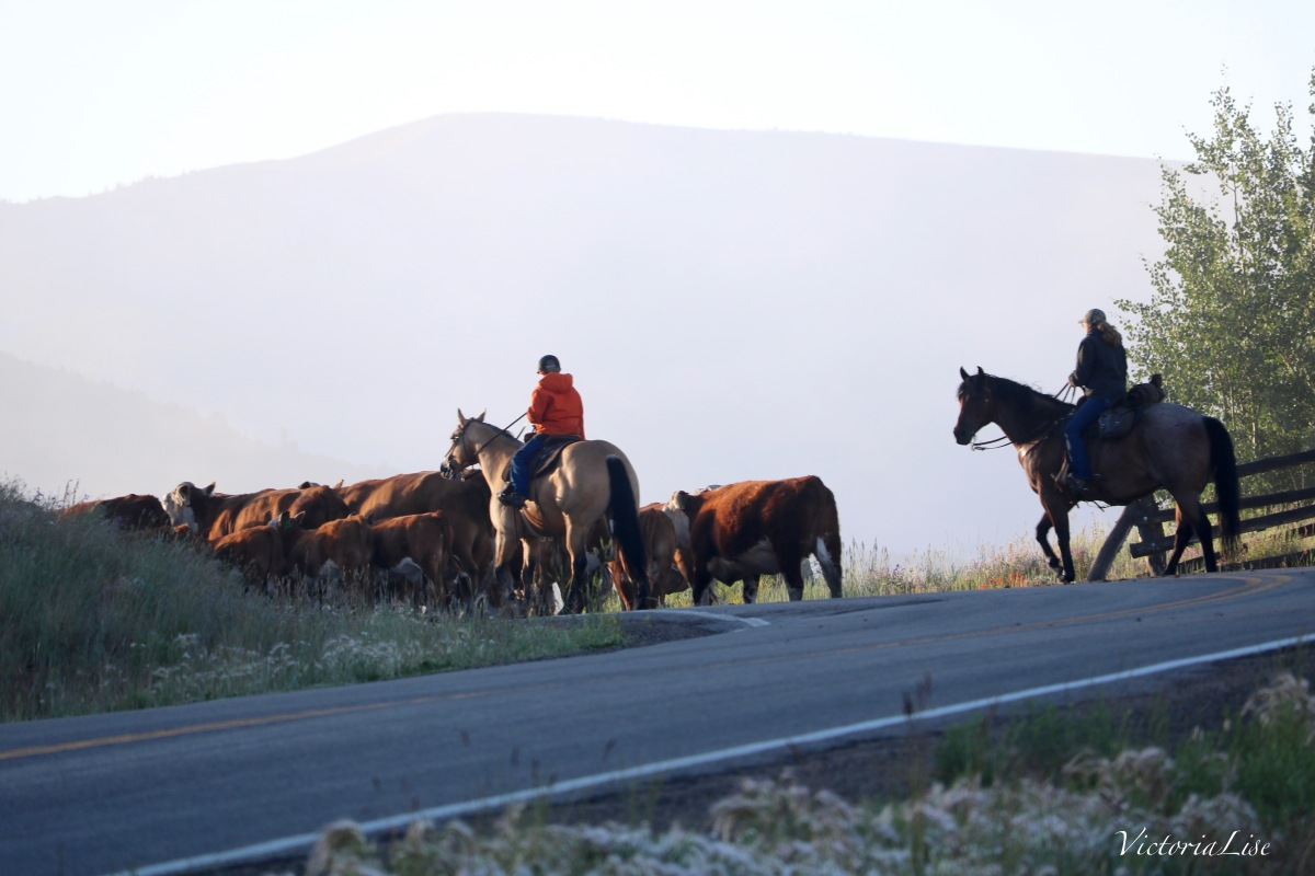 Victoria Lise Early Morning Cattle Drive