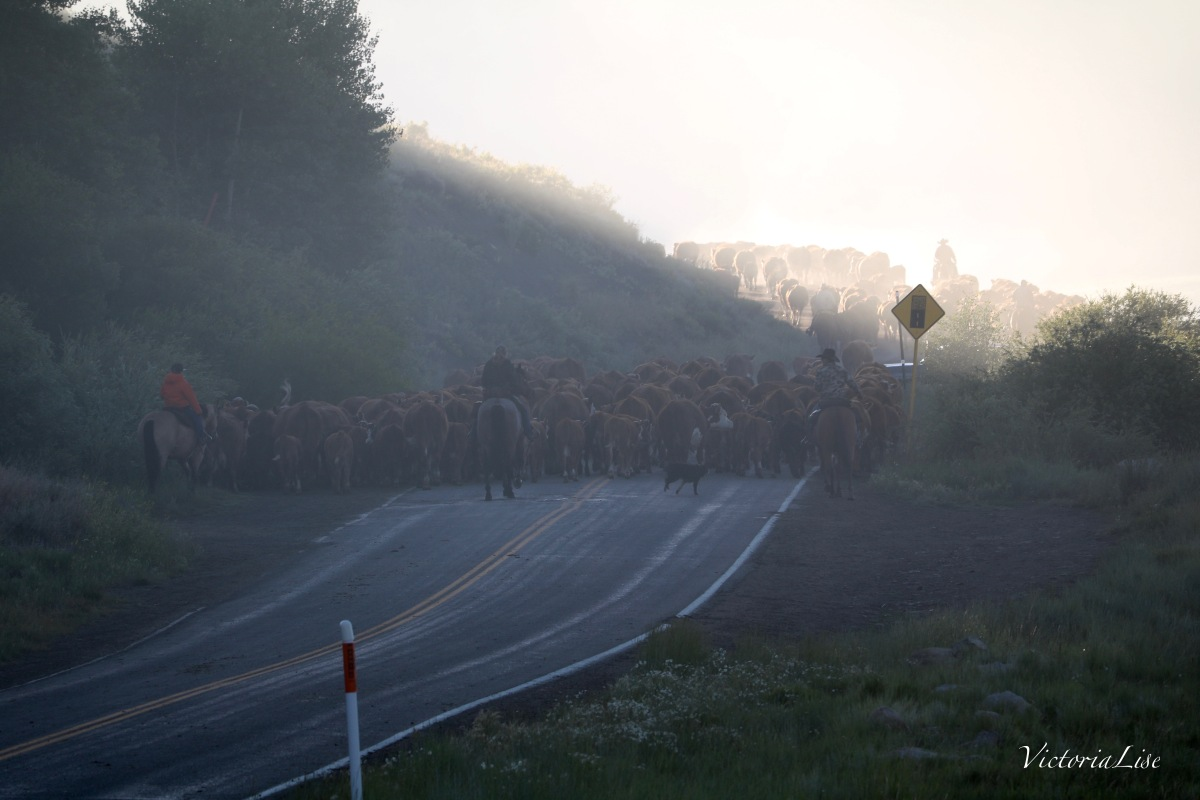 Victoria Lise Driving Cattle Into the Morning Light