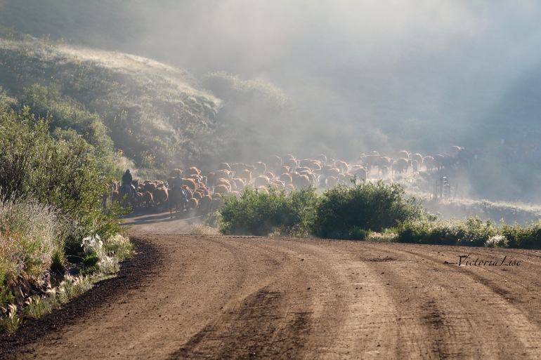 Victoria Lise Colorado Cattle Drive on a Dirt Road