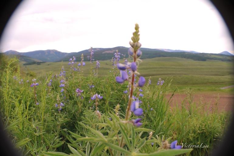 Victoria Lise Colorado Color Purple Lupine