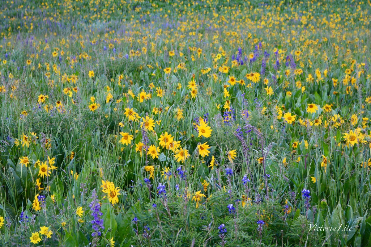 Victoria Lise Colorado Color Field of Wildflowers