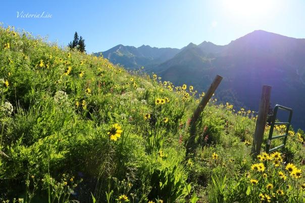 Victoria Lise Colorado Color Alpine Sunflowers