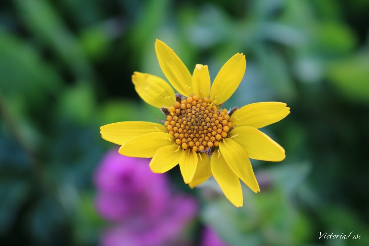 Victoria Lise Colorado Color Yellow Flower