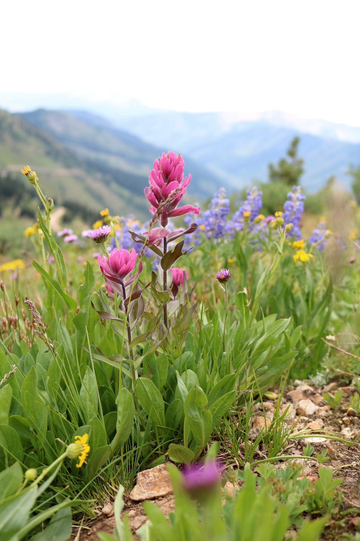Victoria Lise Colorado Color Alpine Wildflowers