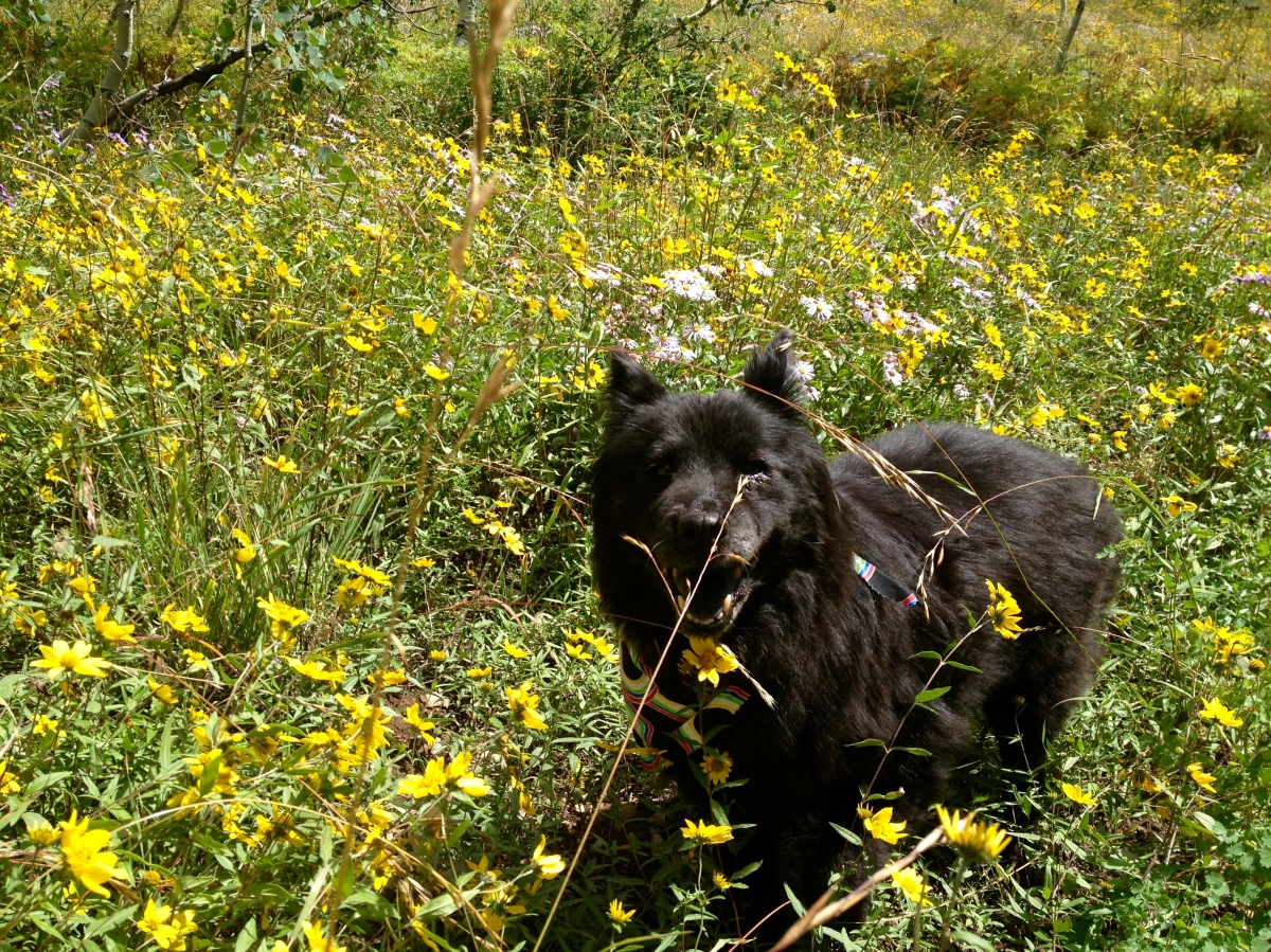 Victoria Lise Bears Mission Senior Rescue Dog