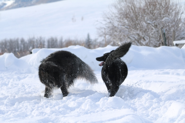 Victoria Lise Dogs At Play In Fresh West Colorado Snow
