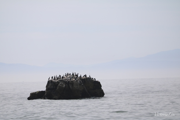 Victoria Lise captures Black Pelican in Santa Cruz Fog