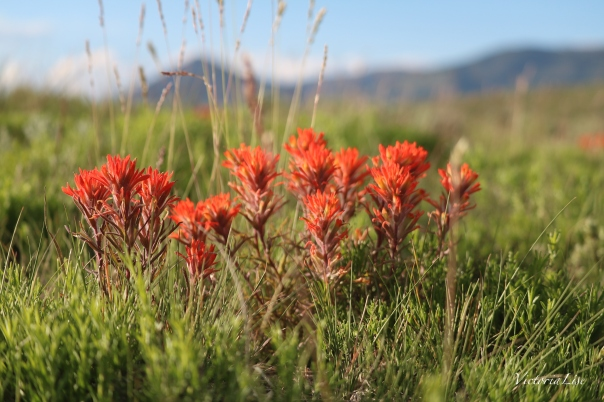 Victoria Lise Spring in the Rockies Indian Paintbrush Wildflower