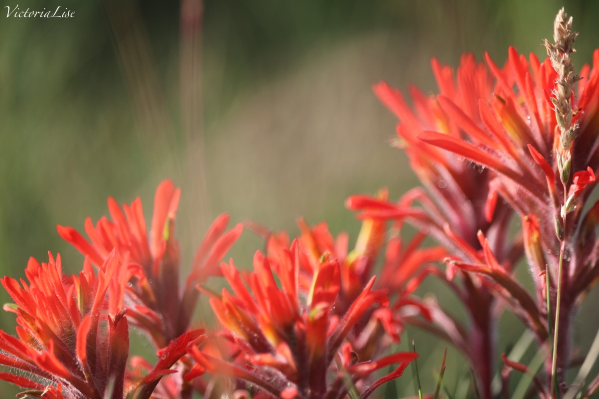 Victoria Lise Spring in the Rockies Close up Indian Paintbrush