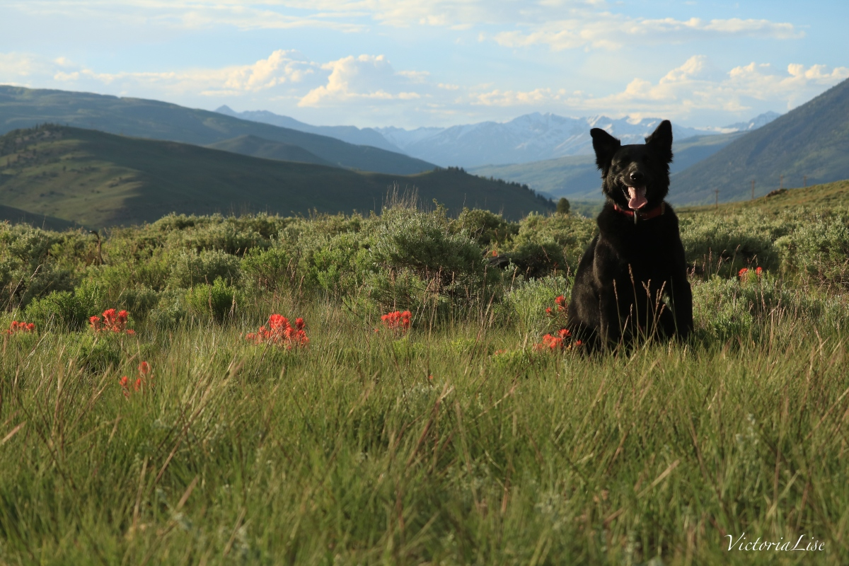 Victoria Lise Spring in the Rockies Photo Post Dog in flower field