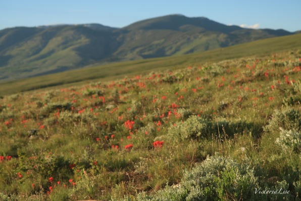 Victoria Lise Spring in the Rockies Photo post Field of Wildflowers