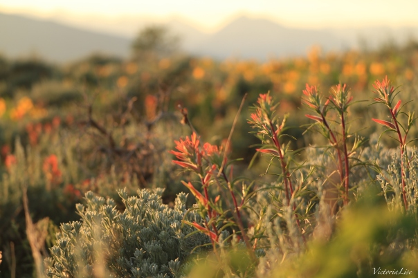 Victoria Lise Magic Hour on Indian Paintbrush Wildflowers