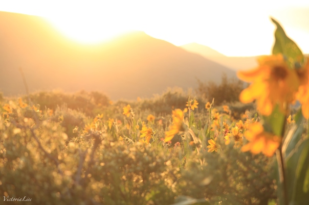 Victoria Lise Magic Hour Sets Over Golden Mules Ear Sunflowers
