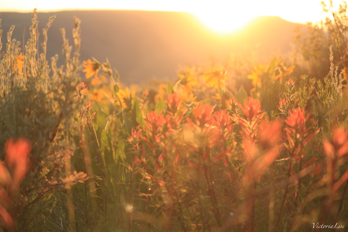 Victoria Lise Magic Hour Golden Sun over Gunnison Valley Flowers