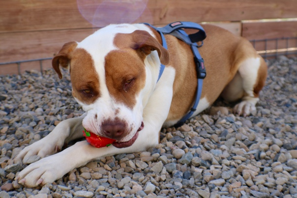 Tyson Terrier Mix with Favorite Ball at Shelter
