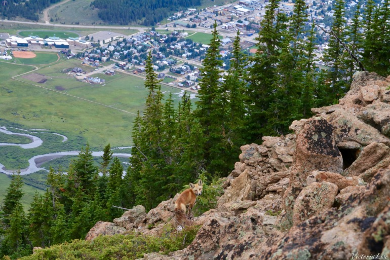 Red fox above town of Crested Butte and Slate River