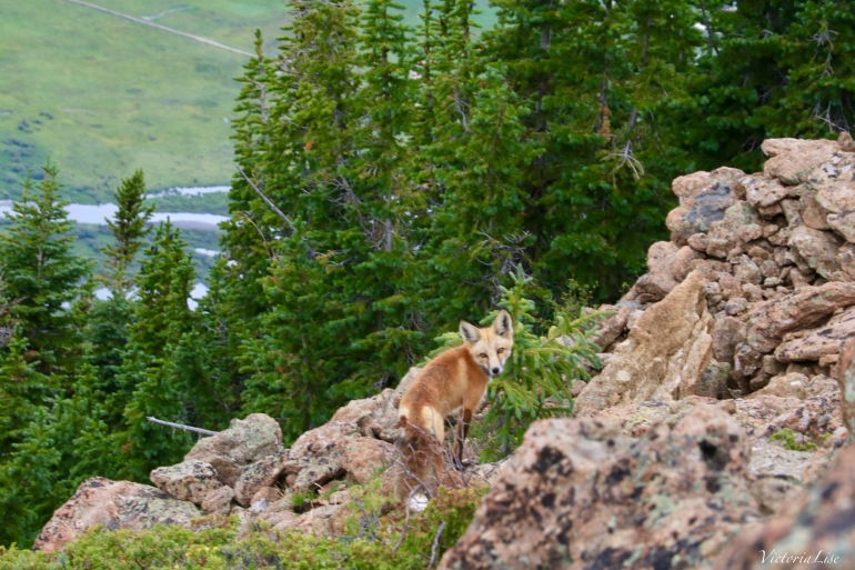 Fox makes eye contact on peak of Mt. Crested Butte