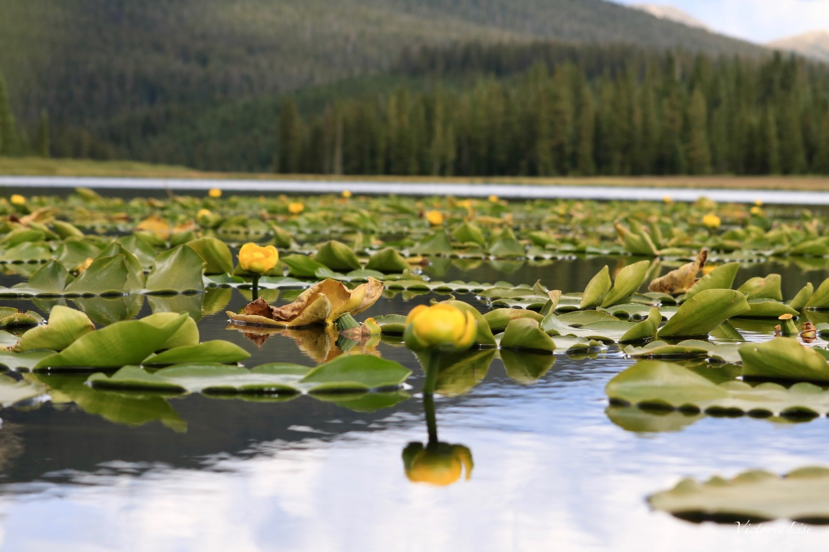Blooming lilies on Lily Lake Colorado