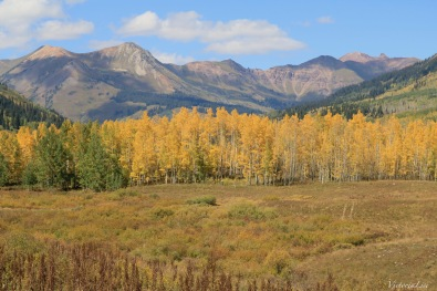 A sea of golden Aspen trees with mountain backdrop Colorado