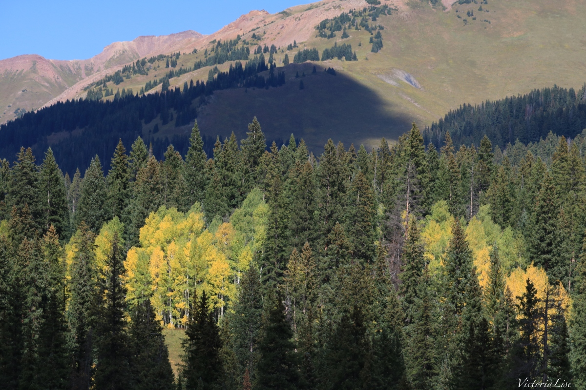 Various colored Aspens contrast by dark pines Victoria Lise