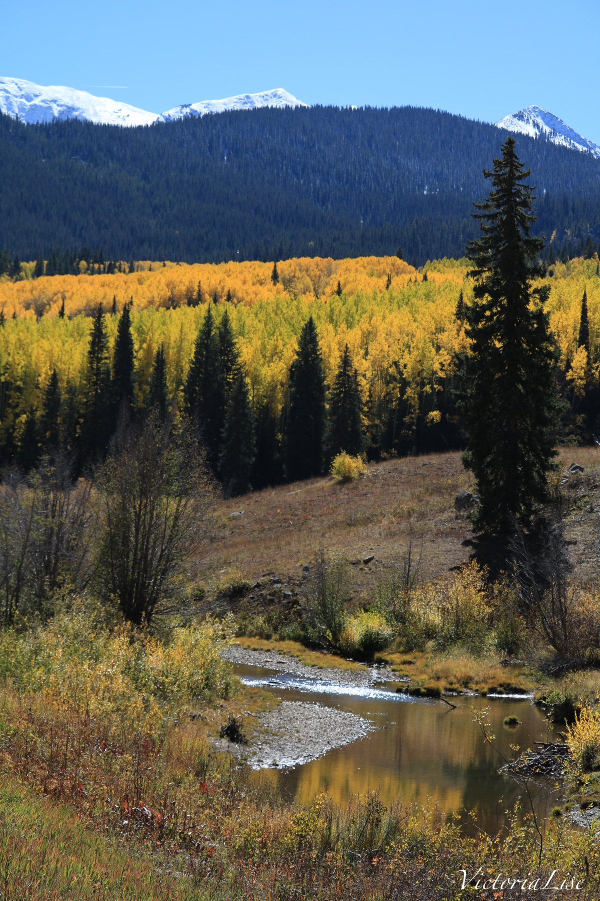 The river runs through. Aspens during peak of fall. Victoria Lise