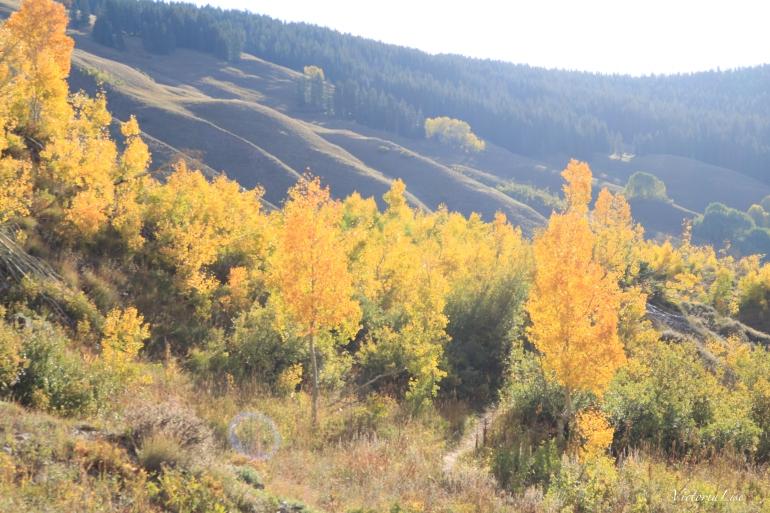 Morning light on changing aspen trees Colorado