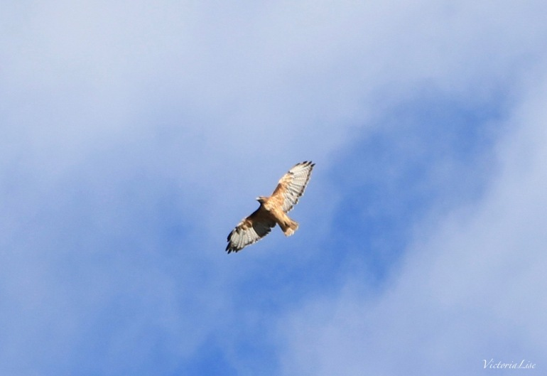Hawk soars the Colorado skies Victoria Lise