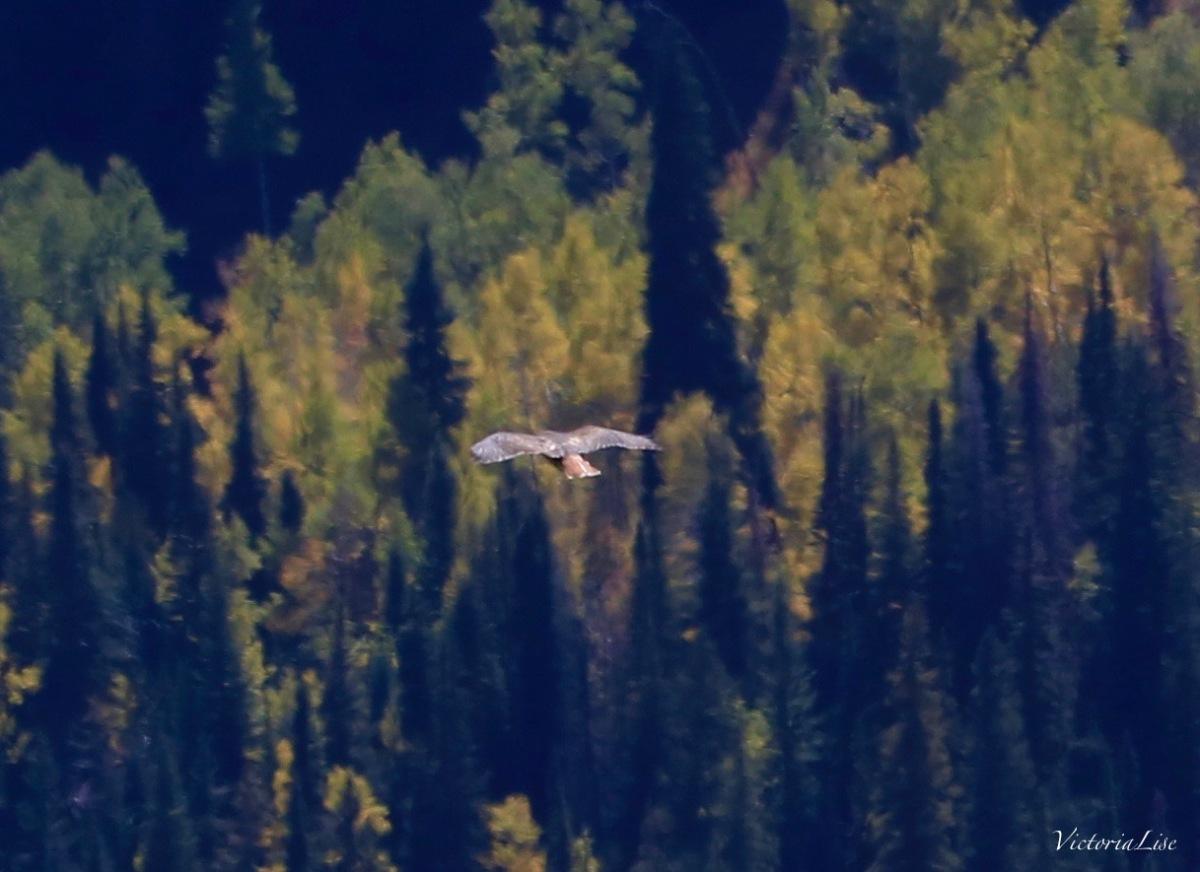 A hawk floats above the fall foliage. Victoria Lise 2017