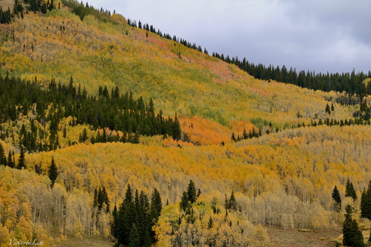 A grove of golden Aspens in the Rocky Mountains of Colorado. Victoria Lise 2017