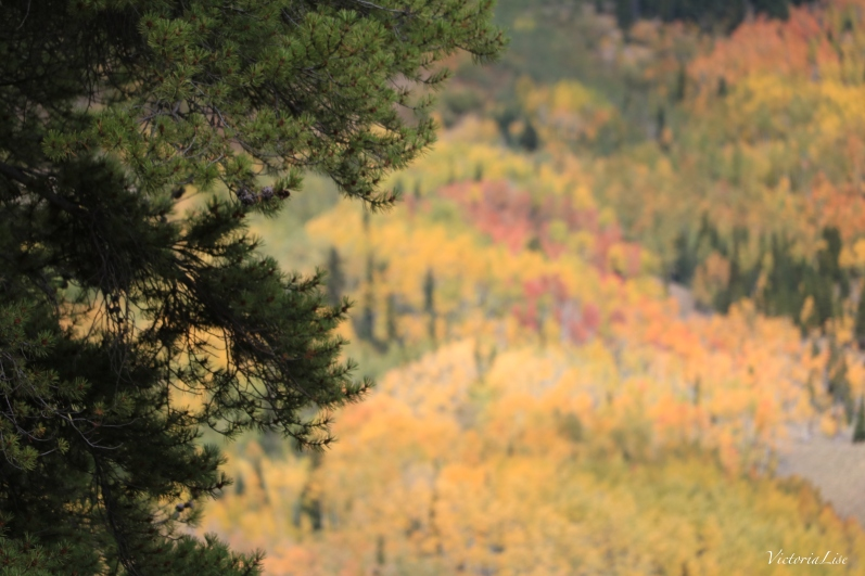 Deep green pine tree in focus and a background of colorful Aspens. Victoria Lise 2017