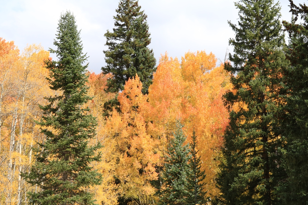 The contrast between Aspen and Pine trees un autumn. Victoria Lise 2017