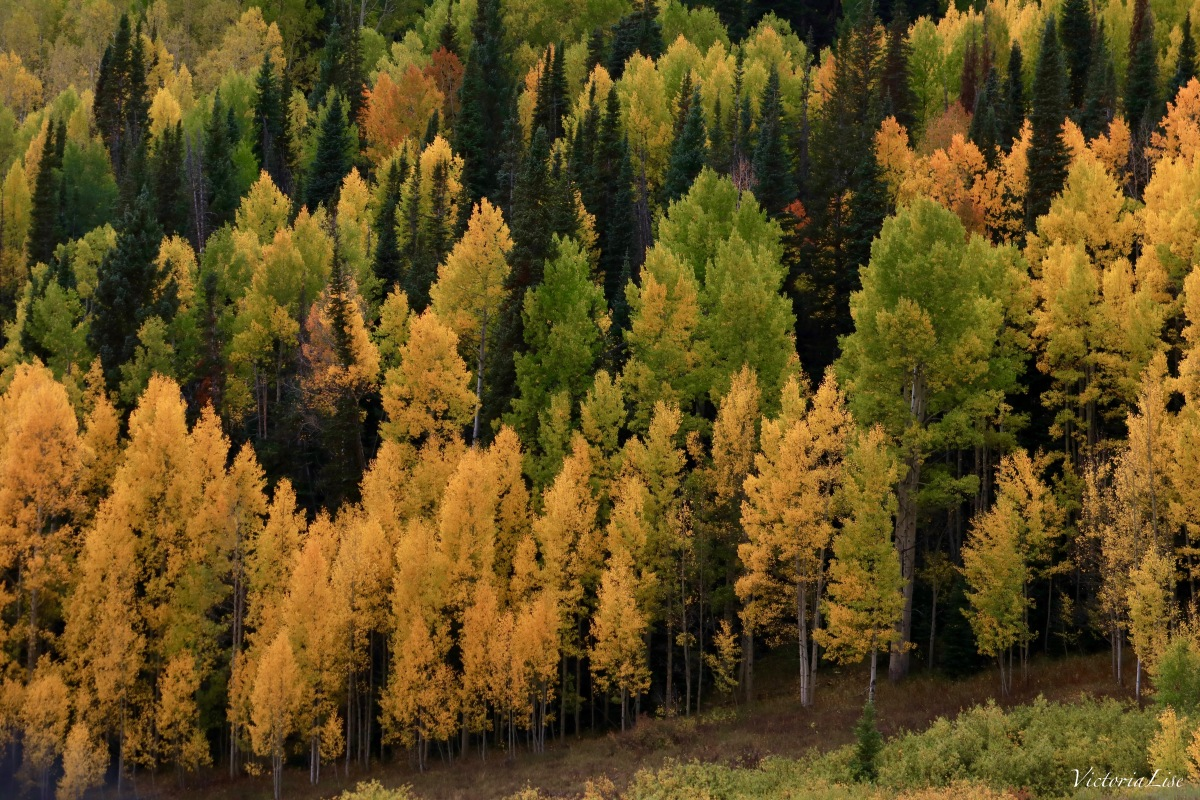 A sea of autumns color in Colorado. Victoria Lise 2017