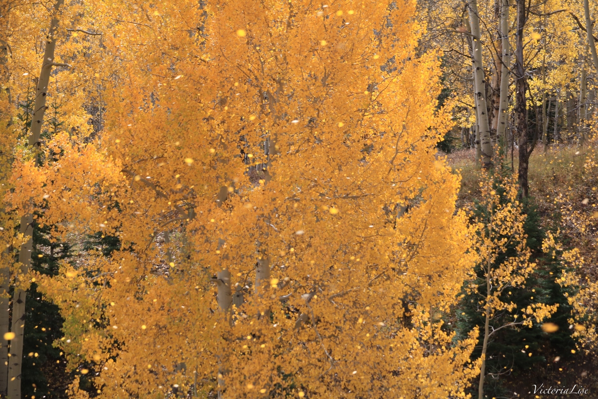 A golden Aspen quaking and shedding leaves. Victoria Lise 2017