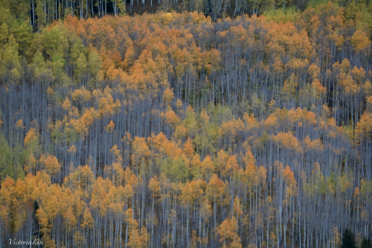 A tall aspen colony loosing ints fall color. Victoria Lise 2017