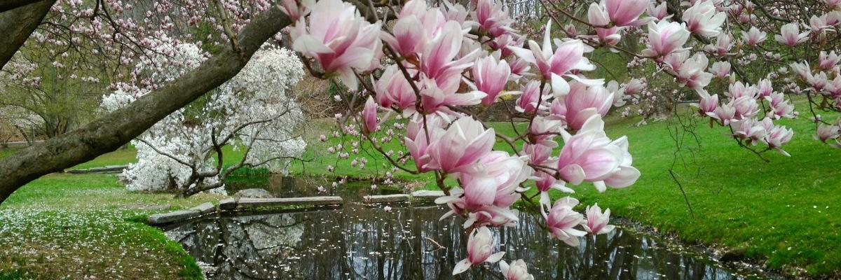 Magnolia spring in Delaware. Victoria Lise 2012