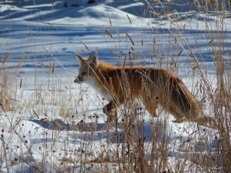 Fox in full winter coat. ©Victoria Lise