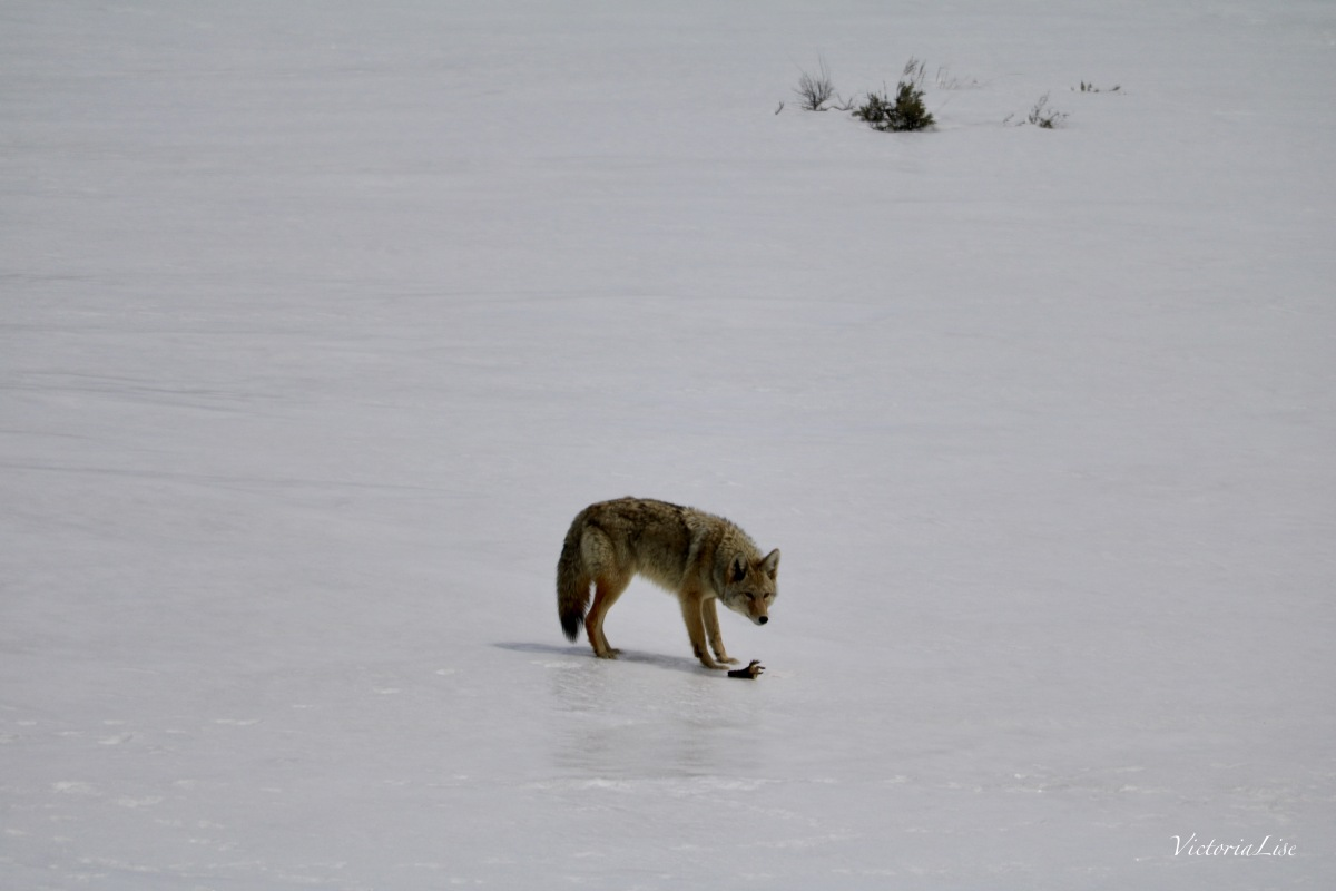 Coyote guarding prey. ©Victoria Lise.