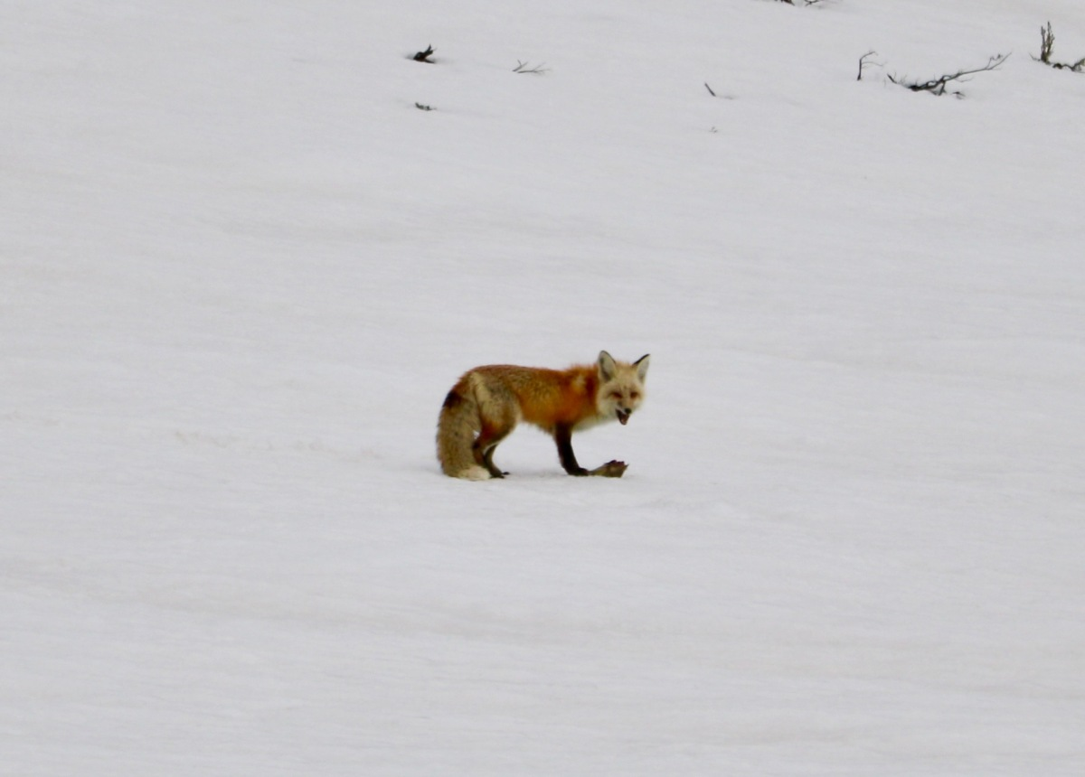 Fox guarding meal. ©Victoria Lise.