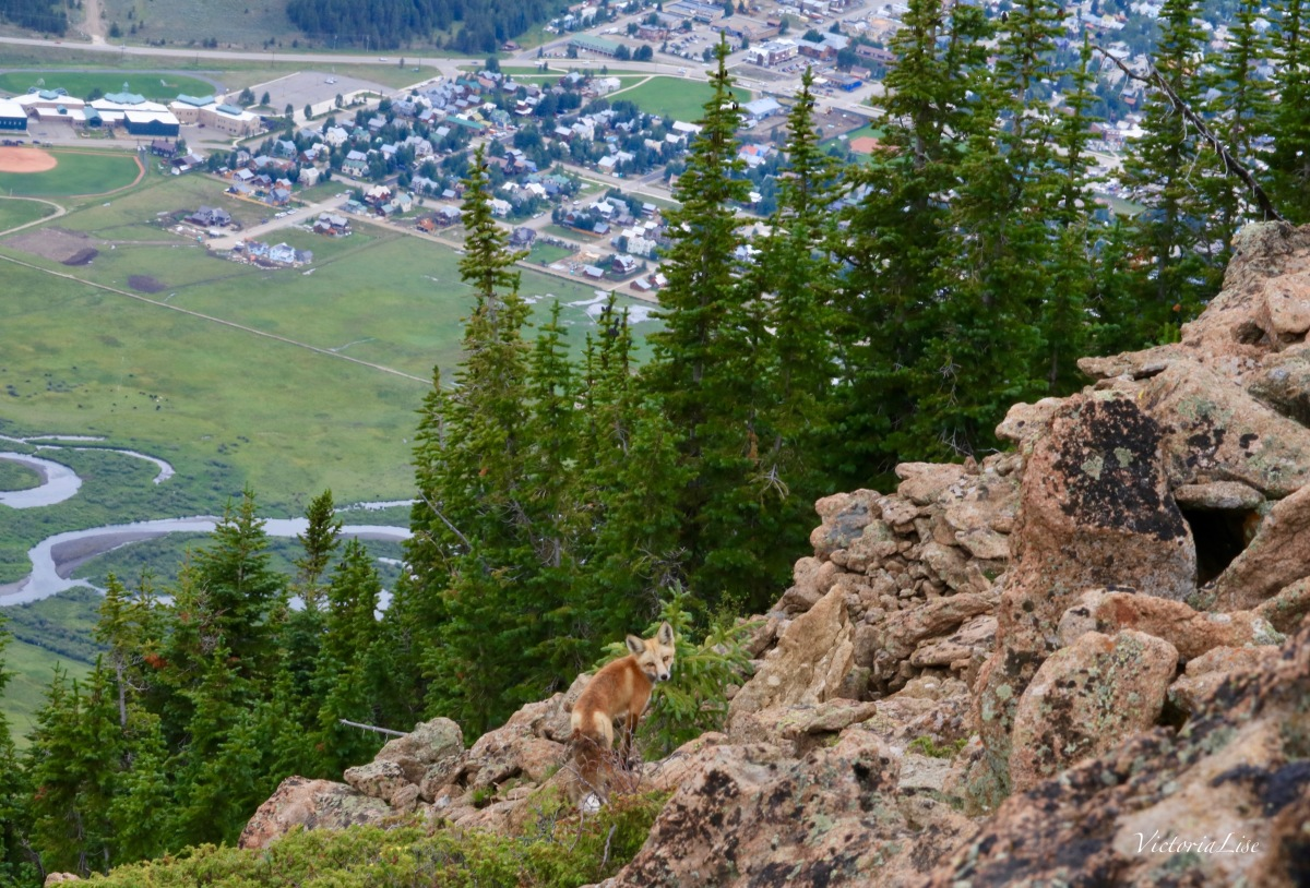Fox atop Mt. Crested Butte. ©Victoria Lise