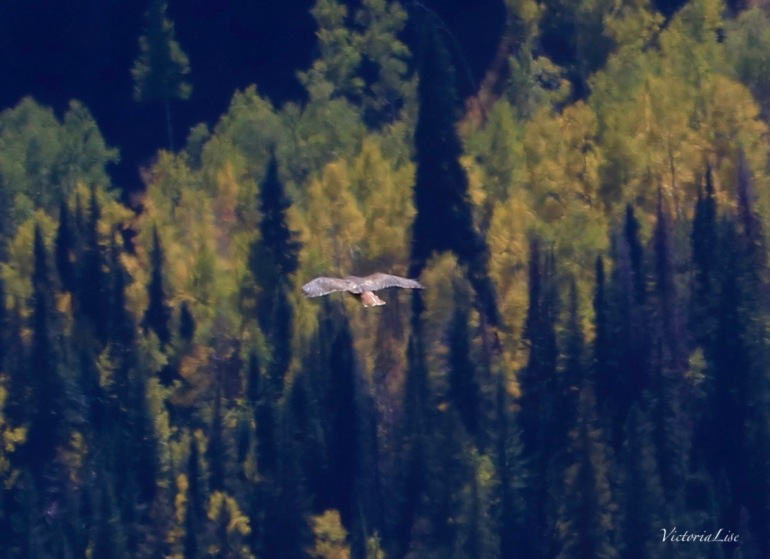 Hawk floats above fall foliage. ©Victoria Lise