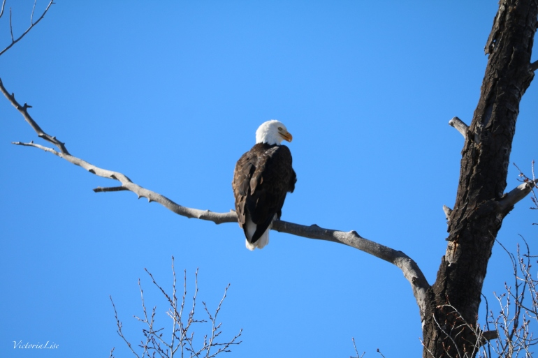 Blue Sky, Bald Eagle. ©Victoria Lise 2017