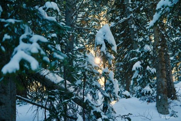 Sun rays shine through pine trees. Victoria Lise 2018