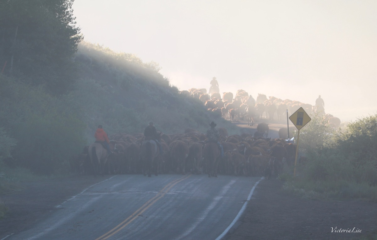 Colorado Cattle Drive Switching Lanes. ©Victoria Lise