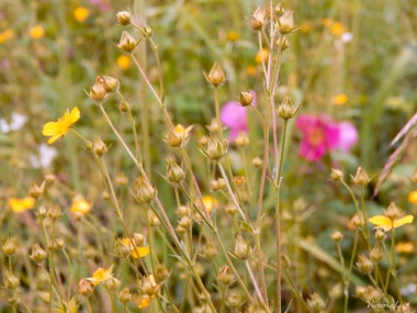 Wild Mountain Rose and Wild Avens of Colorado. ©Victoria Lise Walls.