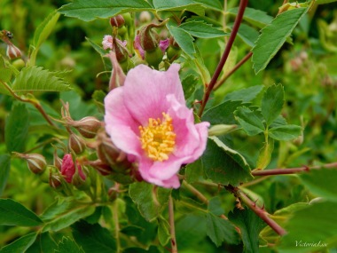 Rocky Mountain Wild Rose. ©Victoria Lise Walls.